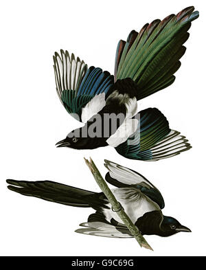 Black-billed Magpie, Pica pica, birds, 1827 - 1838 - Stock Image