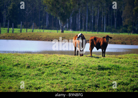Two cows in paddock - Stock Image