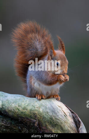 Red Squirrel or Eurasian red squirrel Sciurus vulgaris with a long winter coat and prominent ear tufts eating while sitting on the limb of a tree - Stock Image