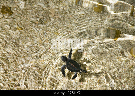 Green seaturtle hatchling, Australia - Stock Image