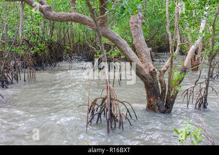 Mangroves in a rising tide. - Stock Image