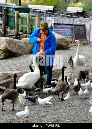 A woman feeding swans and ducks with a chalkboard message saying please don't feed the ducks and swans,Bowness on Windermere,Cumbria,England,UK - Stock Image