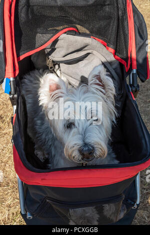 Woodstock, UK, 4th August 2018. Visitors flocked to BBC Countryfile Live, held within the grounds of Blenheim Palace. Animals, wildlife, food, outdoor sports, conservation, farming, rural affairs, entertainment, all were represented. The heat was too much for this 14 year old dog, he was wheeled around by his master. Credit: Stephen Bell/Alamy Live News. - Stock Image