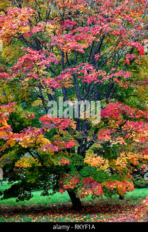 An autumn view of an acer japonicum tree in Westonbirt Arboretum. - Stock Image