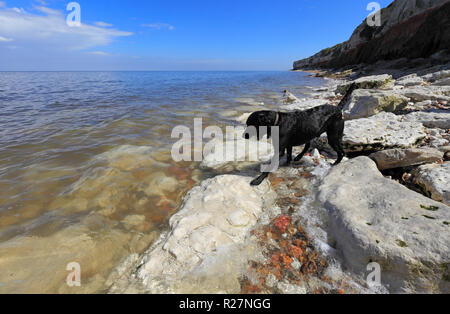 Black Labrador by the sea at Old Hunstanton on the Norfolk coast. - Stock Image