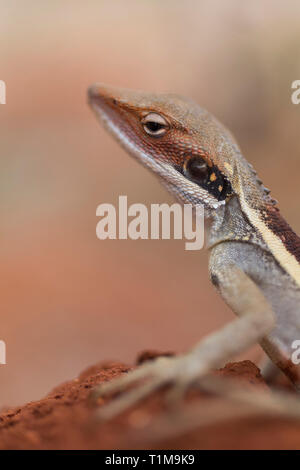 Close up profile gecko - Stock Image