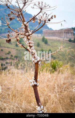 Live white snails clinging to a tree, behind are ancient ruins of Segesta, Sicily - Stock Image