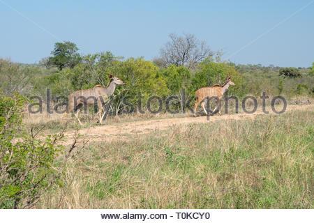 Greater kudu (Tragelaphus strepsiceros) - Stock Image