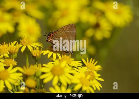 Satyrium w-album, White Letter Hairstreak butterfly feeding on Senecio jacobaea, Ragwort flowers, Wales, UK. - Stock Image