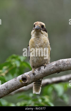 An Australian, Queensland Laughing Kookaburra ( Dacelo novaeguineae ) perched on a tree branch front on - Stock Image