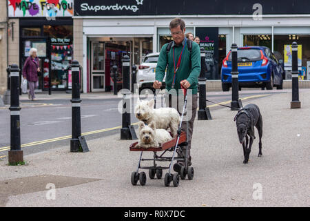 A man in glasses  leading a greyhound and pushing an adapted pushchair with 2 west highland white terriers on it in Chippenham Wiltshire UK - Stock Image