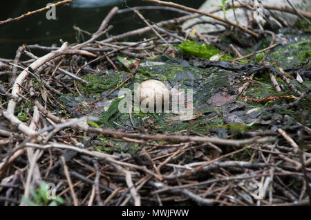Egg of Great Crested Grebe in nest,(Podiceps cristatus), Walthamstow Reservoirs, London, United Kingdom - Stock Image