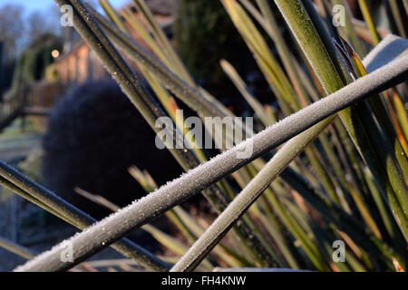 Frost covers spiky plants in the New Forest, Hampshire in the South of England. Sturdy grasses glitter under a coating - Stock Image