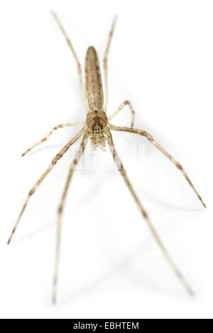 A female Stretch spider (Tetragnatha striata) on white background. Part of the family Tetragnathidae - Long-jawed - Stock Image