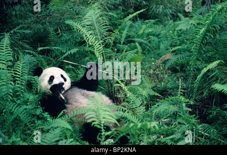 Young giant panda lying down among ferns to feed, Wolong China - Stock Image