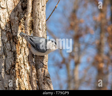 White-breasted Nuthatch (Sitta carolinensis) climbing down tree head first looking for food in the winter in Michigan, USA. - Stock Image