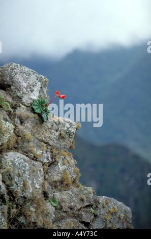 Tuberous Begonia Flower (Begonia veitchii) at Machu Picchu Peru - Stock Image