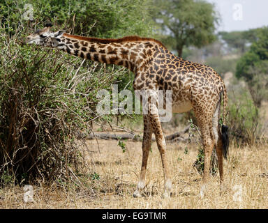 Giraffe eating leaves from a bush. - Tangire National Park - Tanzania, Africa. - Stock Image