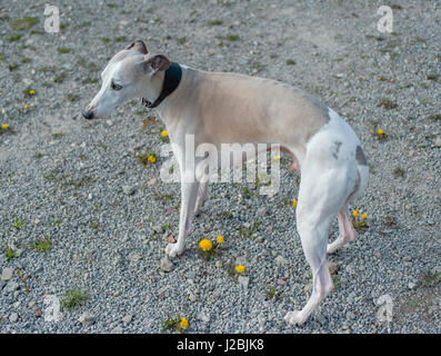Whippet dog standing on stony ground with flowers - Stock Image