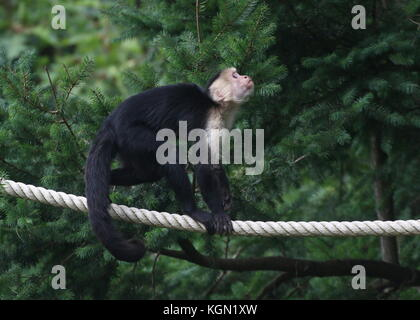 Central American White headed capuchin monkey (Cebus capucinus) blancing on a rope. - Stock Image