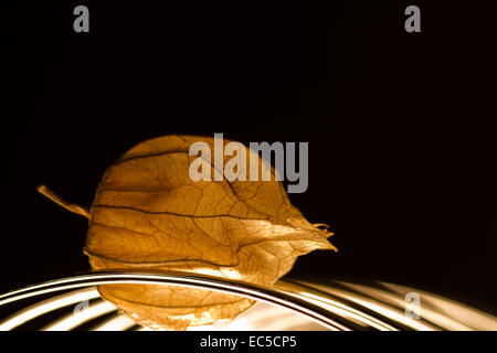 physalis with light from below - Stock Image