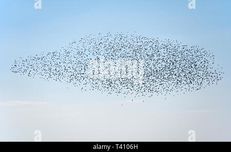 Murmuration of starlings. Half Moon Bay, Heysham, Lancashire, England, United Kingdom, Europe. - Stock Image