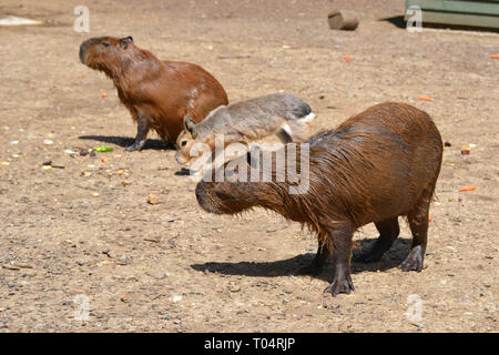 Capybaras with a Patagonian mara at Tropical Wings Zoo, Chelmsford, Essex, UK. This zoo closed in December 2017. - Stock Image