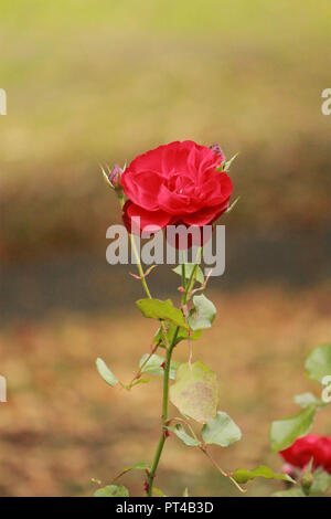 Single red rose, in a garden, on a sunny autumnal day - Stock Image