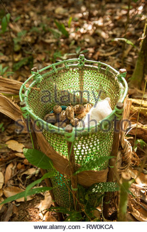 Mato Grosso State, Brazil. A traditional Kayapo design basket, but made of plastic binding tape, stands on the floor of the rainforest with Cumaru (Dipterix odorata, Tonka beans) from the forest. - Stock Image
