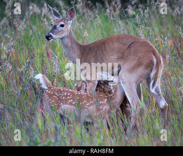White-tailed Deer doe nursing twin fawns (Odocoileus virginianus) - Stock Image