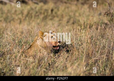Kenya, Tsavo East national park, Lion (Panthera leo) - Stock Image