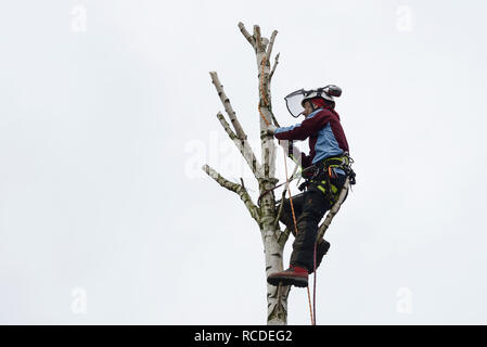 A tree surgeon fells the top of a silver birch tree while wearing a full safety harness with climbing ropes - Stock Image