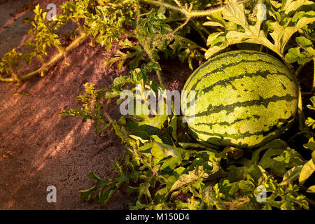 Green watermelon growing in the gardenYoung green striped watermelon grows on vegetable bed. Large watermelon grows - Stock Image