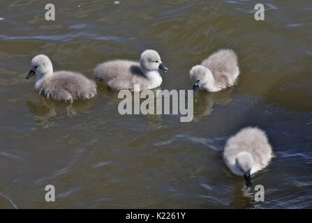 Young mute swans, offspring - Stock Image