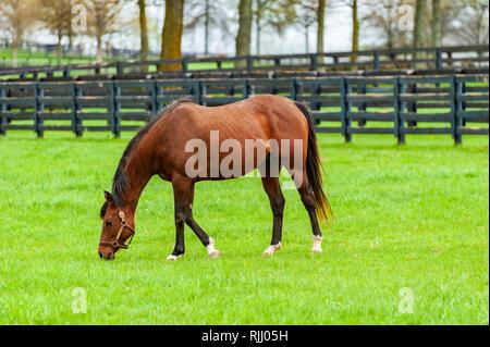 Thoroughbred horse on farm in Lexington Kentuckky - Stock Image