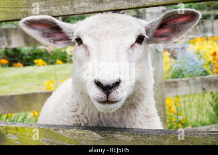 A curious sheep looking through a fence on the Walton village green. - Stock Image
