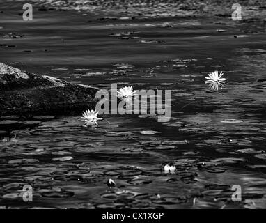 Water lillies on Vermont lake - Stock Image