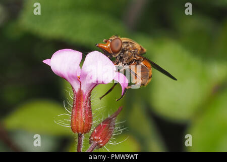 Rhingia campestris Hoverfly feeding on red campion wildflower. Tipperary, Ireland - Stock Image
