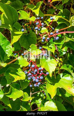 Virgin Vine (Parthenocissus tricuspidata) leaves and fruits - France. - Stock Image