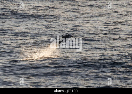 Pantropical spotted dolphin, Stenella attenuata, porpoising at sunrise, off Mindelo, Cape Verde - Stock Image