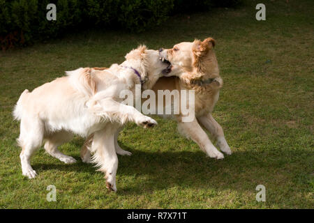 two golden retrievers fighting or playfighting - Stock Image