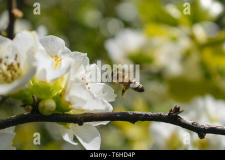 Chaenomeles speciosa Nivalis (Japanese quince) - Stock Image