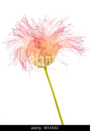 pink silk tree flower isolated on white - Stock Image