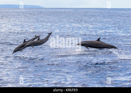 Pantropical Spotted Dolphin (Stenella attenuata) jumping and socializing near to our boat - Stock Image