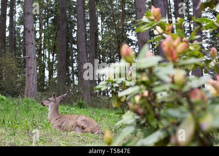 A deer lying down in a wooded area in Eugene, Oregon, USA. - Stock Image