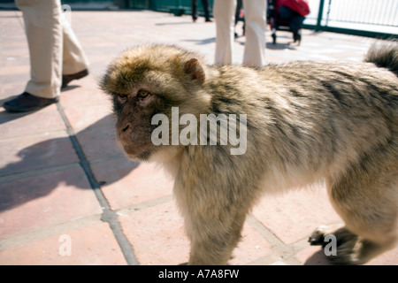 Gibraltar ape and visitors legs, Gibraltar, Europe - Stock Image