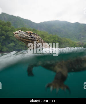 Swimming. THE INSANE moment a daring photographer armed with a stick fended off a wild Komodo dragon from boarding his boat has been captured on video. The stunning footage and still shots show the huge heads and forked tongues of the dragons, which can weigh up to 200-pounds, just above the surface of the water as they swim. Other striking snaps show what lies beneath as the dangerous predator's powerful legs propel it through the water in pursuit of a meal. The remarkable photographs were taken off the coast of Rinca Island, Komodo National Park, Indonesia from a rowboat by photographer Andy - Stock Image