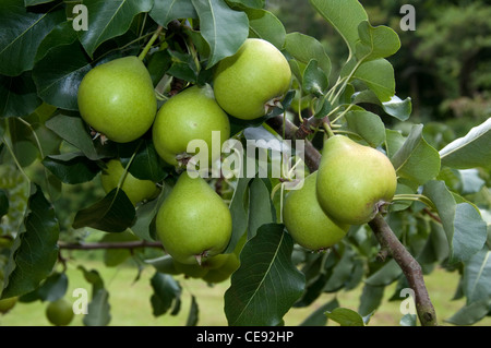 Common Pear, European Pear (Pyrus communis), variety: Oberoesterreichische Weinbirne. Fruit on a tree. - Stock Image