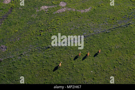 A drone image of cattle in a pasture taken in Arkansas, USA - Stock Image