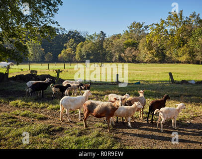 sheep grazing on a local farm, Pennsylvania Dutch Country, Lancaster County, Pennsylvania, USA - Stock Image